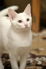 white kitten at home on the carpet