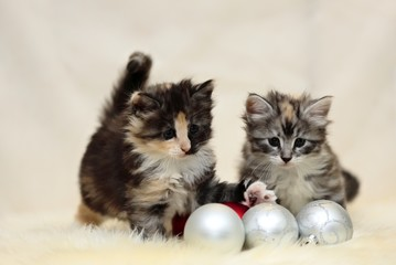 Norwegian forest cat kittens playing with Xmas balls