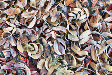 Natural autumn background with fallen frozen leaves