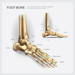 Foot Bone Anatomy Vector Illustration