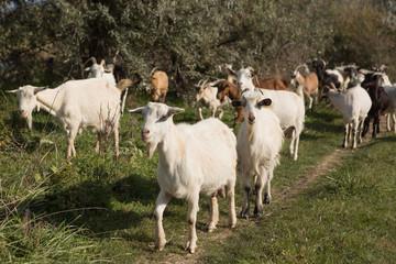 a herd of goats grazes on a meadow, green grass