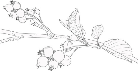 branch of shadbush sketch on white