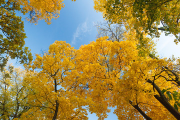 Yellow maple trees against the blue sky in autumn