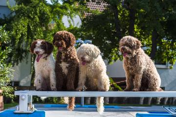 Spanische Wasserhunde sitzen nebeneinander