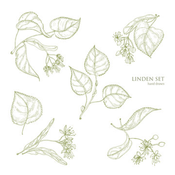 Realistic natural drawings of linden leaves and beautiful tender flowers. Parts of blooming tree hand drawn with contour lines, view from different angles. Gorgeous floral vector illustration.