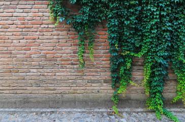 green climbing plants on a brick wall.