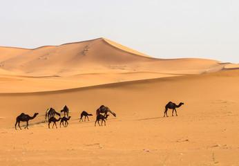 Camels in desert.