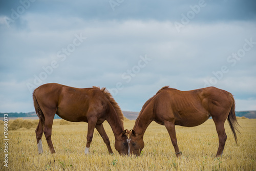 two mares face to face grazing and chewing grass against the blue sky at sunset in the field. Enamored horses walk together on the pasture. bay horses.