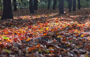 Sunlight on fall leaves