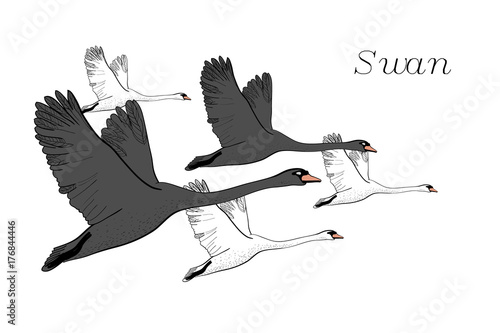 Illustration Of Drawing Black Flying Swans Hand Drawn Doodle Graphic Design With Birds