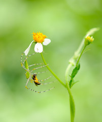 spider jumping hold on flower eat bug