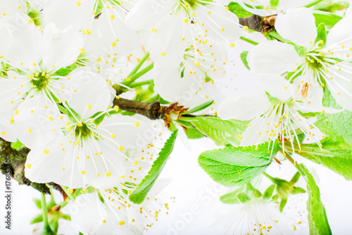 cherry blossom or sakura flowers on white background with copy space