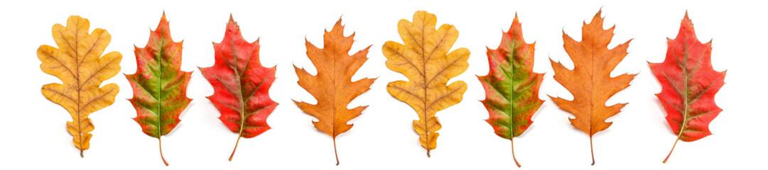 panorama autumn oak leaves