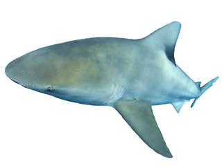 Bull Shark isolated on white background