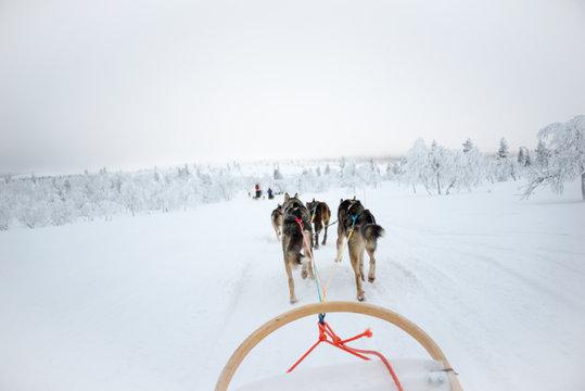Husky dog sledding in Lapland, Finland