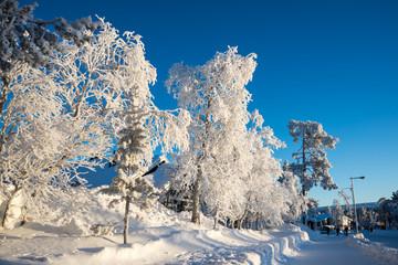 Wall Mural - Frozen trees in winter in Saariselka, Lapland, Finland