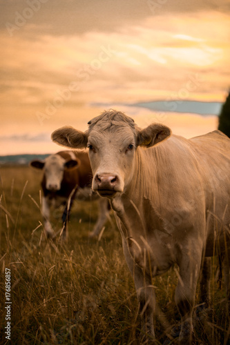 Wall mural Cow in sunset