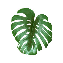 Monstera flower, tropical leaf isolated on white background, vector illustration