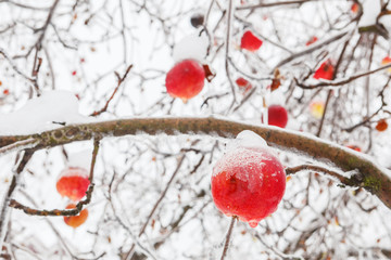 Apple tree branch with bright apples in winter