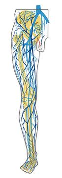 human anatomy. deep and superficial leg veins. vector drawing