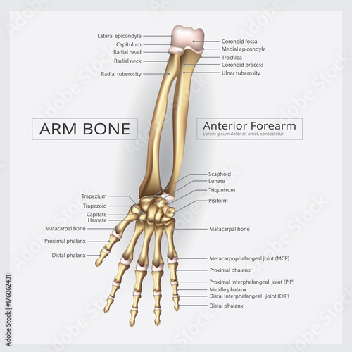 Arm Bone Anatomy with Detail Vector Illustration\