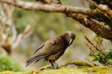A Kea bird in it's natural setting, a mountaintop in New Zealand