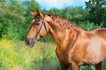portrait of sportive chestnut  horse at lake background. summer