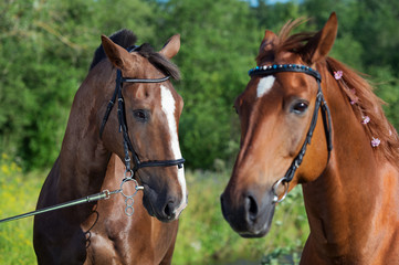 couple of hobby class horses poseing together
