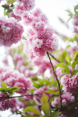 Beautiful spring cherry blossoms in the Brooklyn Botanic Garden