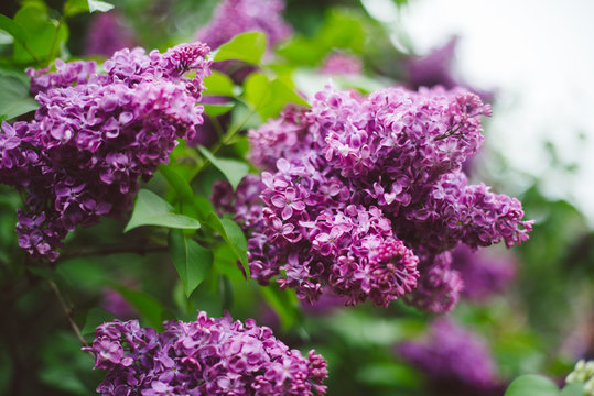Beautiful spring lilac blossoms in the Brooklyn Botanic Garden