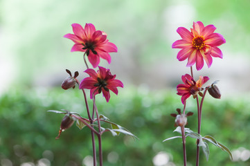 Four Colorful Dahlia Flower in Pink, Orange, Red and Yellow