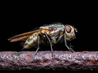 Meat Fly Insect On Dark Background