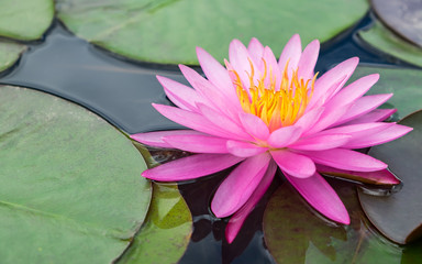 pink lotus flower and plant