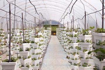 Greenhouse full of strawberries