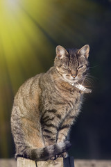 Top cat. Urban domestic tabby cat with silver collar in bright sunshine.