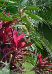 Fleurs roses et fuchsia, dans la végétation luxuriante de la jungle d'Amérique Centrale