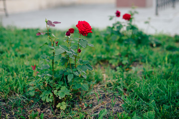 red rose blooming on a flower bed