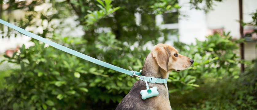 Dog sits in garden and looks away while on a leash