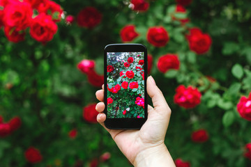 Person taking photo of red roses bush