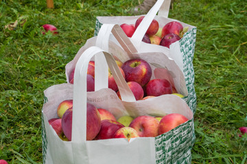 Close up of fresh red apples in a bag