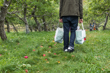 A man is walking away with two bags of apples in an orchard