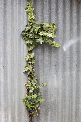 ivy growing out and escaping from between sheets of corrugated iron