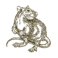 Rat. Sketch. Vector illustration.