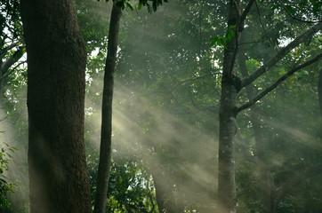Green Natural Beech Tree Forest illuminated by Sunbeams through Fog