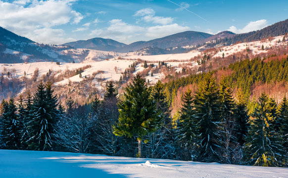 spruce trees on snowy rural hillside in mountains. beautiful winter countryside scenery on a bright sunny day