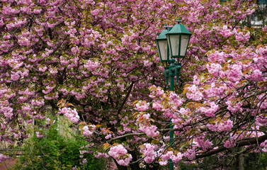 green lantern among cherry blossom. delicate pink flowers blossom of sakura tree