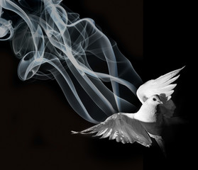 a white pigeon on a black background