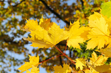 Wall Mural - bright yellow leaves of maple tree on sunny autumn day