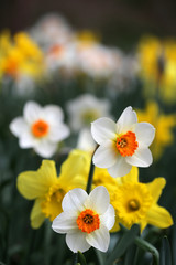View of daffodil flowers during spring