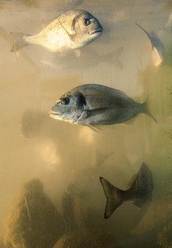 orada fish in aquarium